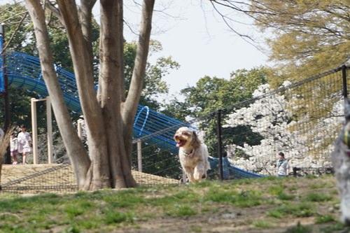 お花見 水元公園ドッグラン