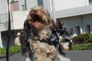 犬 あくび